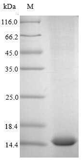 SDS-PAGE- Recombinant protein Human CSF2