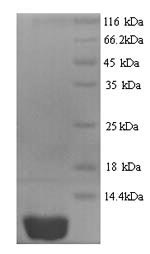SDS-PAGE- Recombinant protein Human CXCL10