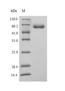 SDS-PAGE- Recombinant protein Human CYP1A1