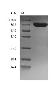 SDS-PAGE- Recombinant protein Human DBH