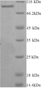 SDS-PAGE- Recombinant protein Mouse Eef2