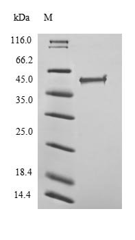 SDS-PAGE- Recombinant protein Human ERG