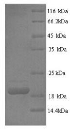 SDS-PAGE- Recombinant protein Human FASLG
