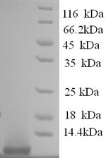 SDS-PAGE- Recombinant protein Human GCG