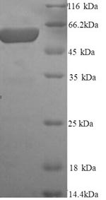 SDS-PAGE- Recombinant protein Rat Gpc3