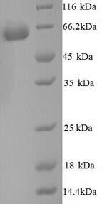 SDS-PAGE- Recombinant protein Mouse Gpi