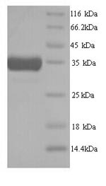 SDS-PAGE- Recombinant protein Mouse Hmox1