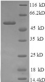 SDS-PAGE- Recombinant protein Human ICA1
