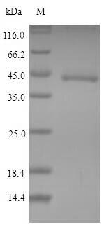 SDS-PAGE- Recombinant protein Mouse Ido1