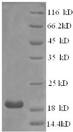 SDS-PAGE- Recombinant protein Human IFNA21