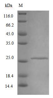SDS-PAGE- Recombinant protein Mouse Ifnar2