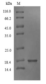 SDS-PAGE- Recombinant protein Marmota IFNG
