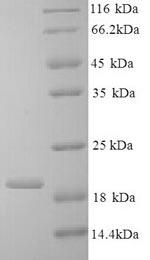 SDS-PAGE- Recombinant protein Bovine IL10