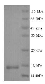 SDS-PAGE- Recombinant protein Human IL4