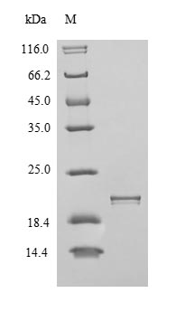 SDS-PAGE- Recombinant protein Human ITGAV