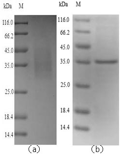 SDS-PAGE- Recombinant protein Mouse Lgmn