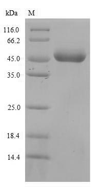 SDS-PAGE- Recombinant protein Mouse Lilrb3