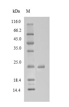 SDS-PAGE- Recombinant protein Bovine MBL