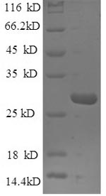 SDS-PAGE- Recombinant protein Human MBL2