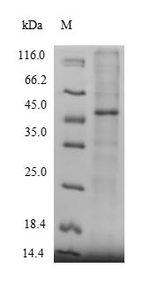 SDS-PAGE- Recombinant protein Human MICAL2
