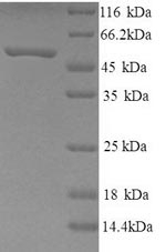SDS-PAGE - Recombinant human Neuropeptide FF receptor 2