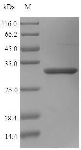 SDS-PAGE- Recombinant protein Human OGN