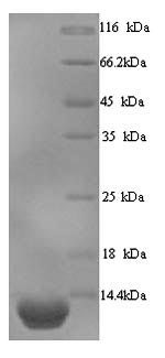 SDS-PAGE- Recombinant protein Human PI3