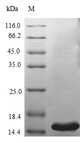 SDS-PAGE- Recombinant protein Human PLA2G5