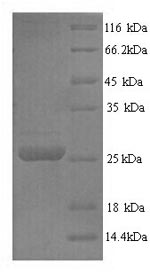 SDS-PAGE - Recombinant Pig Trypsin