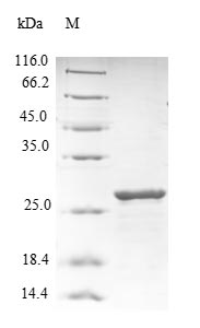 SDS-PAGE- Recombinant protein Human RELN