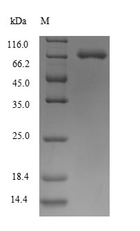 SDS-PAGE- Recombinant protein Human SEMA7A