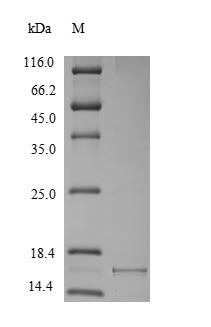 SDS-PAGE- Recombinant protein Macaca SNCA