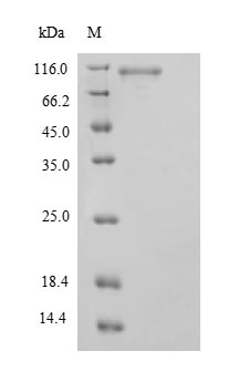SDS-PAGE- Recombinant protein Human STAT3