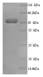 SDS-PAGE- Recombinant protein Human TCN1