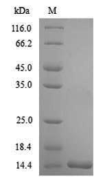 SDS-PAGE- Recombinant protein Oncorhynchus TGFB1