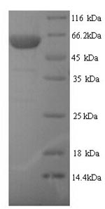 SDS-PAGE- Recombinant protein Human TRIM21