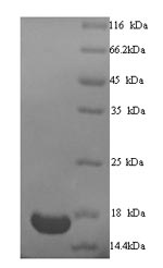 SDS-PAGE- Recombinant protein Human TRIM24
