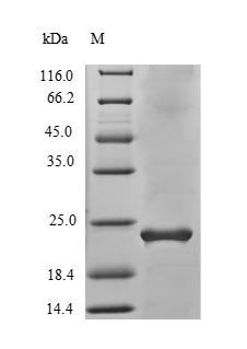 SDS-PAGE- Recombinant protein Human VEGFB