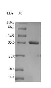 SDS-PAGE- Recombinant protein Human VGLL3