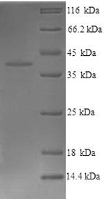 SDS-PAGE- Recombinant protein Mouse Wnt3