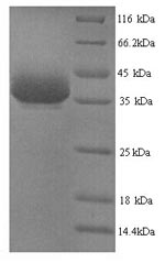 SDS-PAGE- Recombinant protein Mouse Ybx1