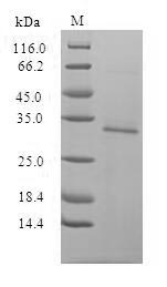 SDS-PAGE- Recombinant protein Human egfp