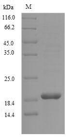 SDS-PAGE - Recombinant Haliotis laevigata Perlwapin