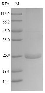 SDS-PAGE- Recombinant protein Horse LATH