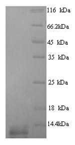 SDS-PAGE - Recombinant Dactylis glomeRata Major pollen allergen Dac g 4