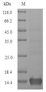 SDS-PAGE - Recombinant Triangle waterfern Cyanovirin-N homolog