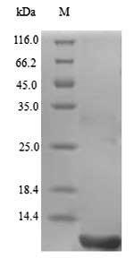 SDS-PAGE - Recombinant Gloydius blomhoffii Disintegrin halysin