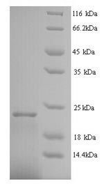 SDS-PAGE- Recombinant protein Human IFNA2