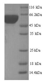 SDS-PAGE- Recombinant protein Yersinia groL