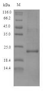 SDS-PAGE- Recombinant protein Callithrix IL10